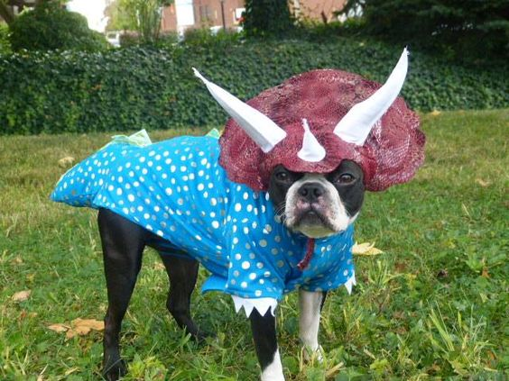 boston-terrier-halloween-costume-triceratop-dinosaur