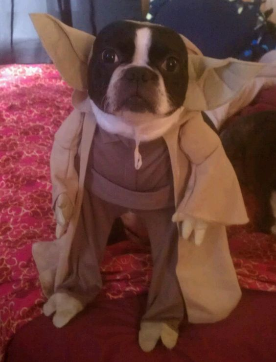 boston-terrier-halloween-costume-yoda