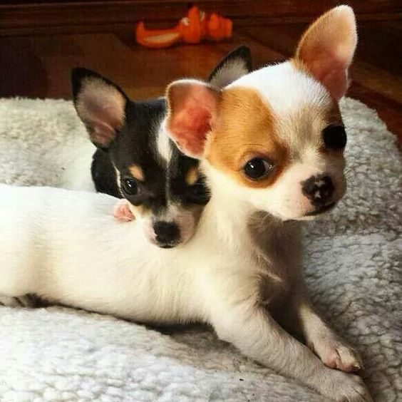 chihuahua-dogs-pups