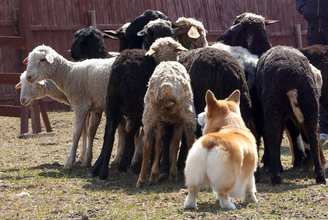 corgi-herding-animals