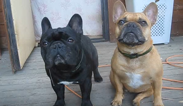 cute-french-bulldogs