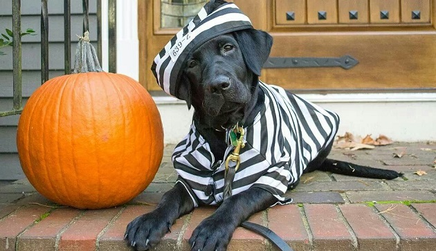 cute labrador prisoner - Halloween Costumes For Labradors