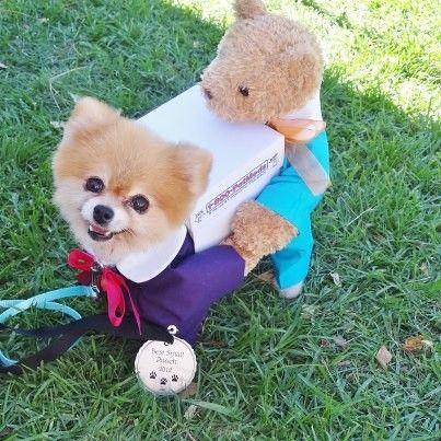 delivery-pomeranian-halloween-costume