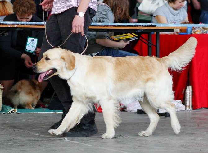 golden-retriever-dog-show_mini