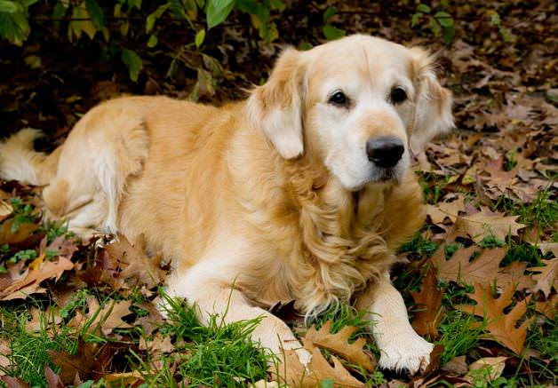 golden-retriever-leaves