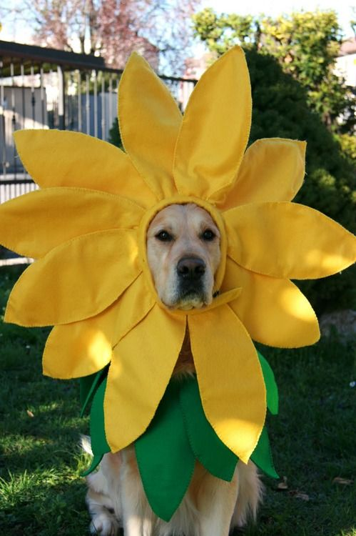 golden sunflower labrador dog - Halloween Costumes For Labradors