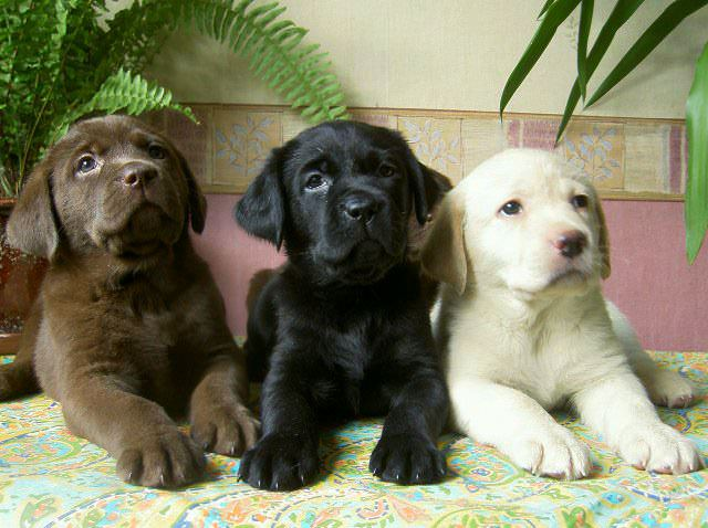 labrador-puppies
