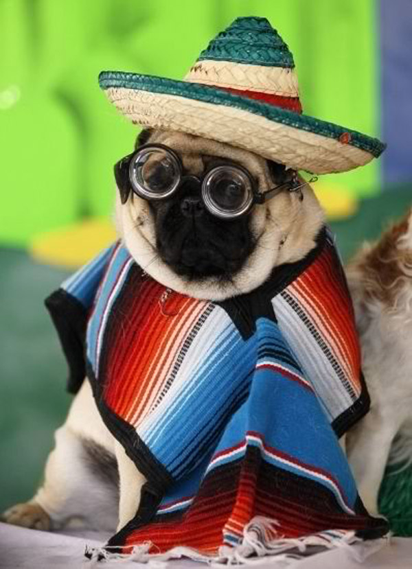 pug-funny-photo