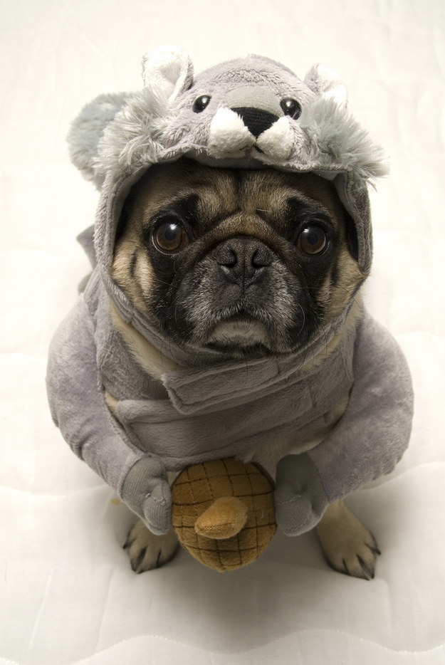 pug-style-outfit