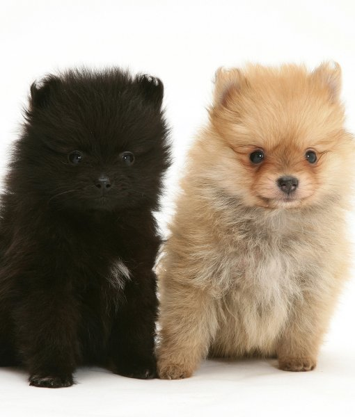 two-cute-pomeranian-puppies