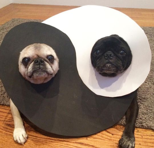 yin-and-yang-pugs-dogs