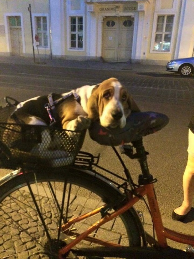 basset-hound-bike-dog