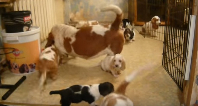 basset-hound-family-so-cute