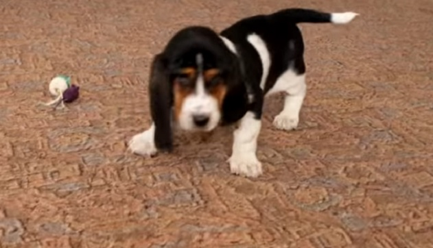 basset-hound-puppy-playing