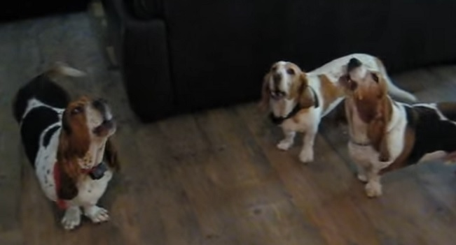 basset-hound-singing-dog