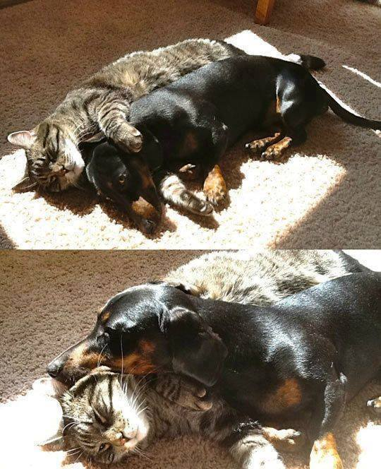cat-and-dachshund-cuddling