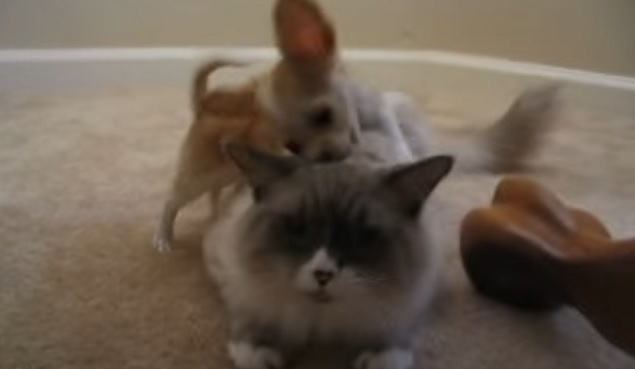 chihuahua-dog-cat-funny-play