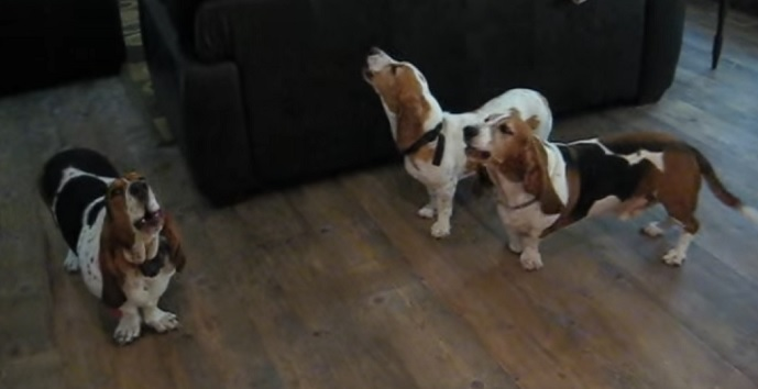 cute-basset-hounds-photo