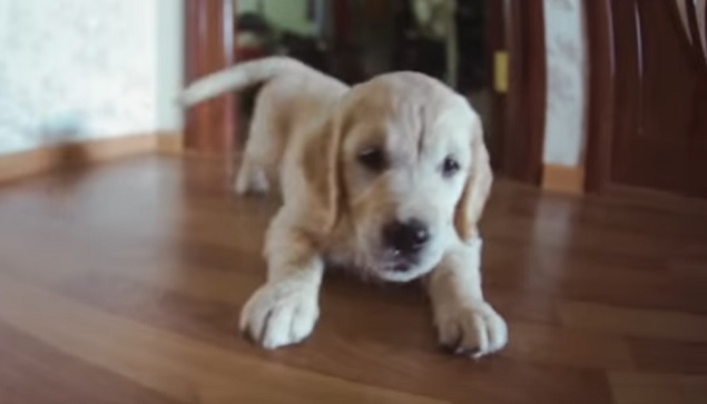 cute-golden-retriever-pup