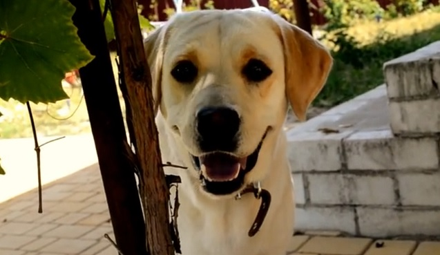 cute-labrador-face-photo-eyes-closeup