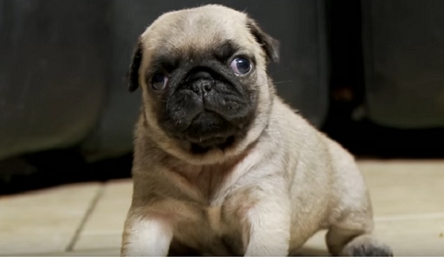 cute-pug-dog-puppy