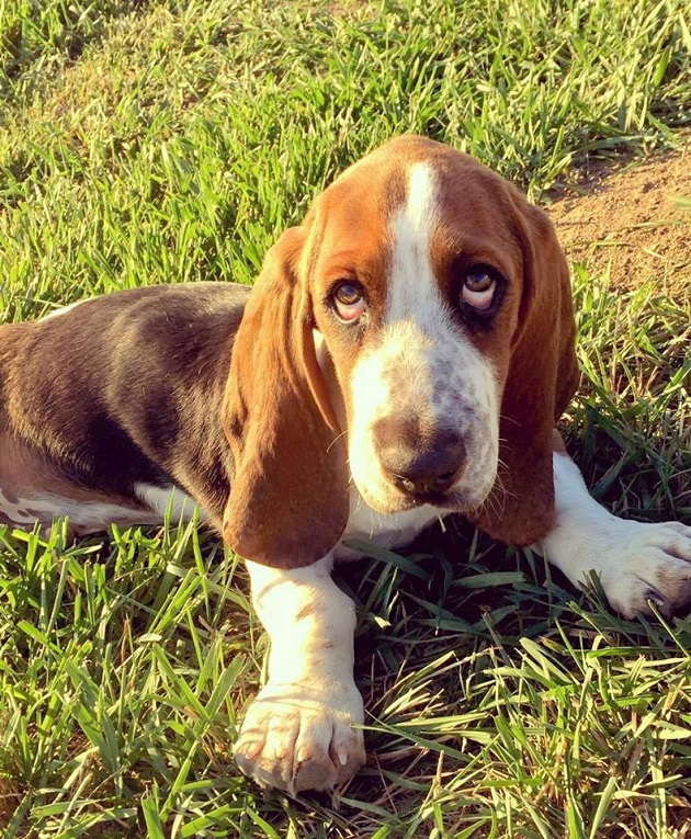 cute-pup-basset-hound-dog