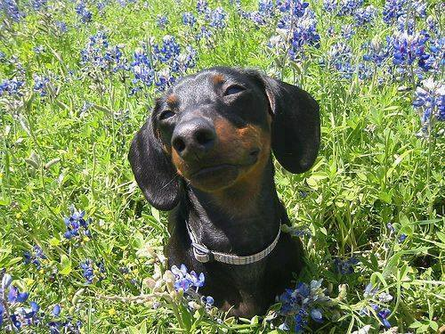 dachshund-flowers-summer