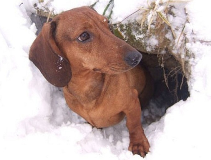 dachshund-winter-hunting