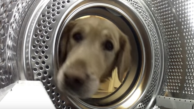 golden-retriever-dog-face-washing-mashine