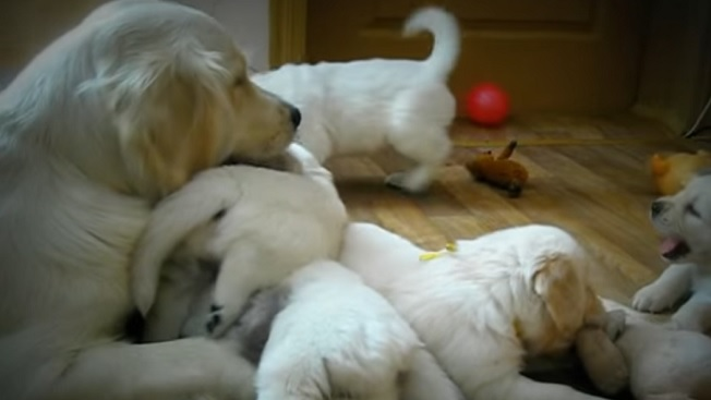 golden-retriever-dog-puppies-family