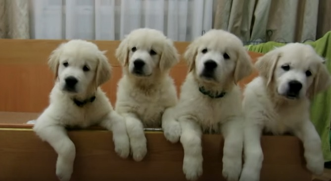 golden-retriever-puppies-dogs-pups