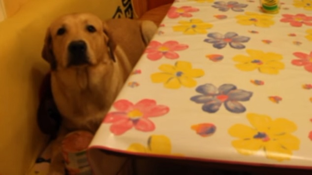 labrador-dog-kitchen-food