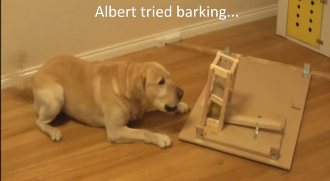 labrador-retriever-try-bark