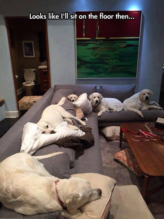 labradors-couch-dogs-so-cute