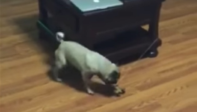 playful-and-funny-pug