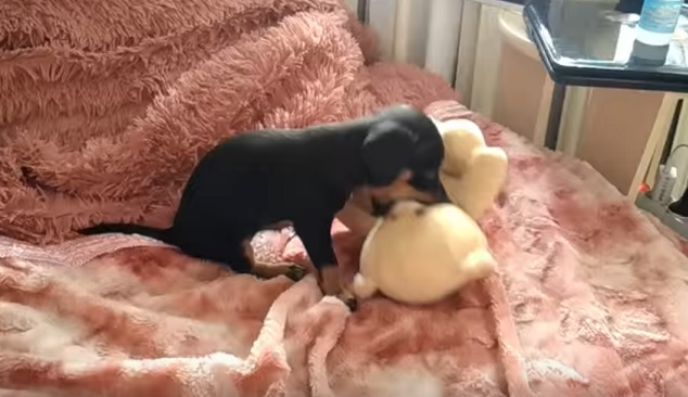 playful-dachshund-pup-teddy-bear