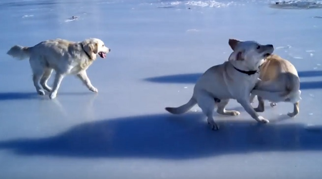 playful-dogs-ice-frozen-lake