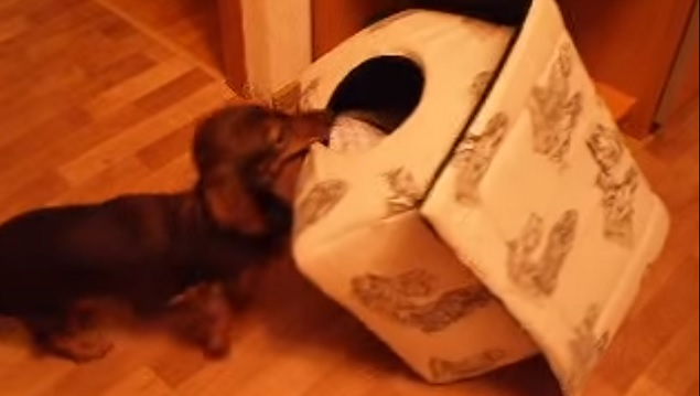 playful-doxie-dachshund-dog-house