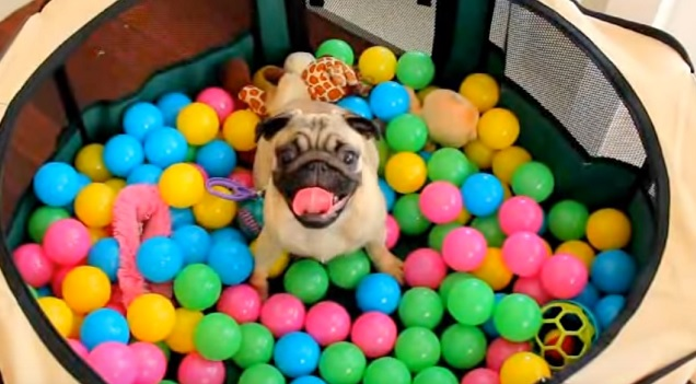 playful-pug-pup-a-lot-of-balls