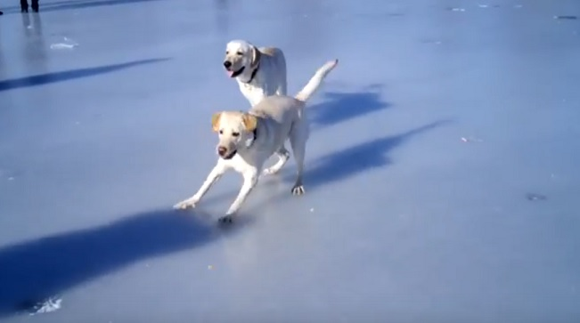 playing-dogs-frozen-lake