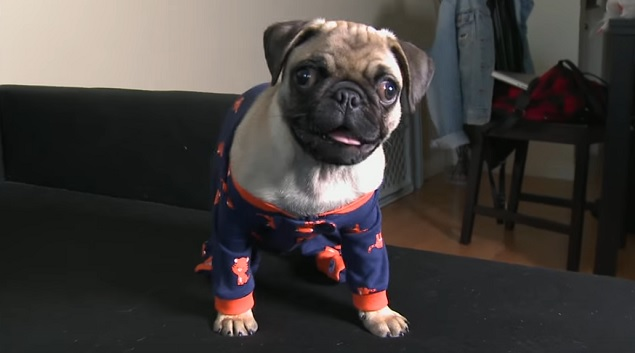 pug-pajamas-dog-sofa