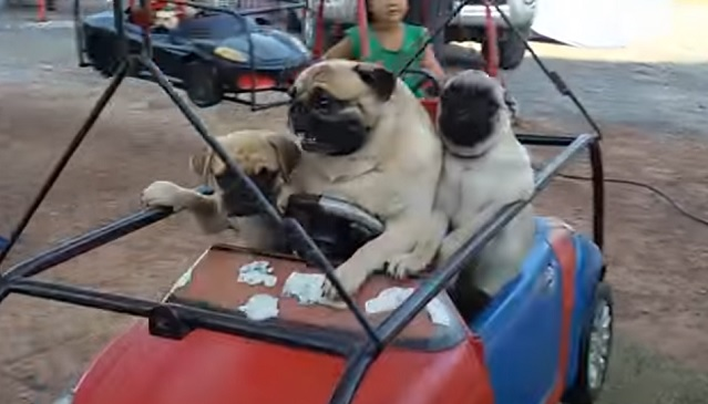 pugs-cars-park-funny-dogs
