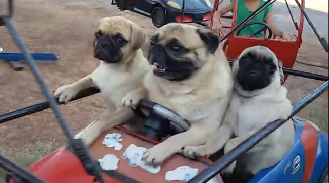 three-pugs-dogs-fun