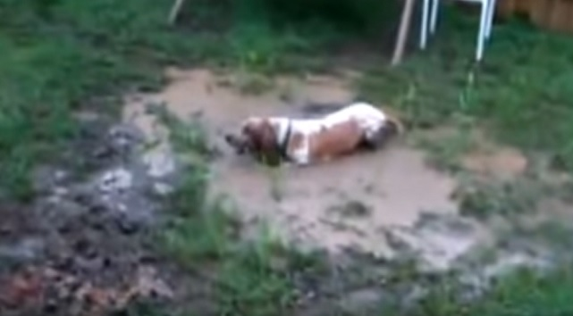 basset-hound-dog-mud