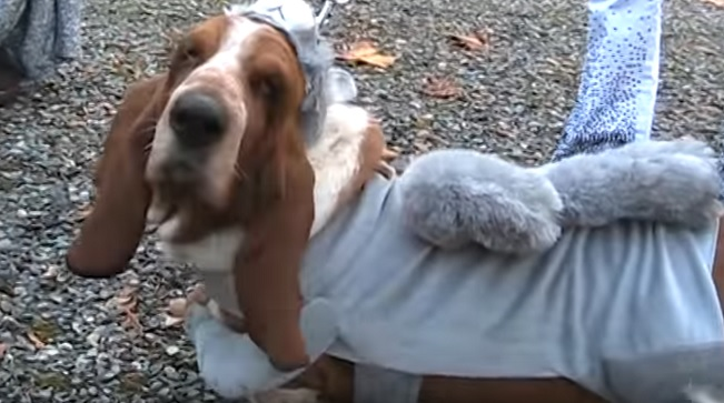 basset-hound-in-costume-photo