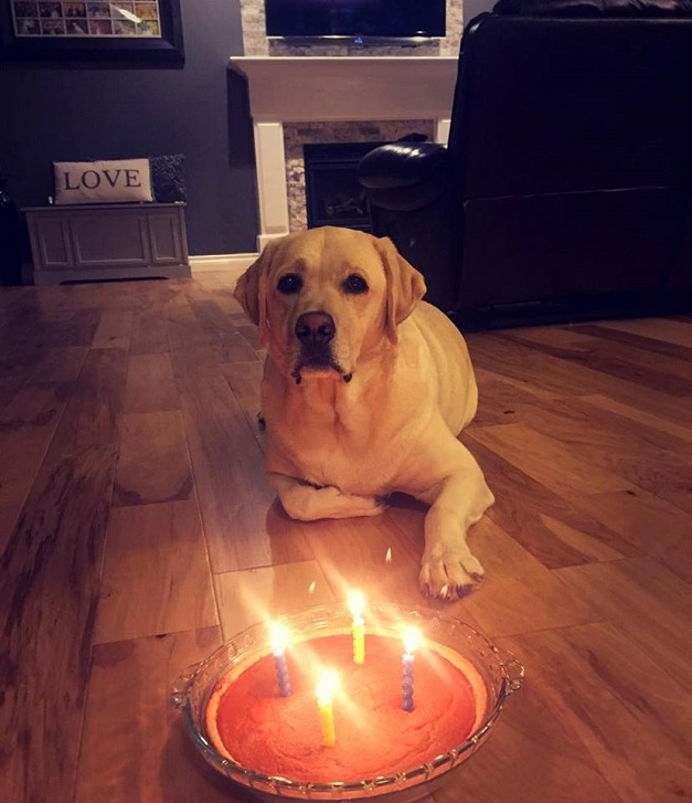 birthday-cake-labrador-waiting