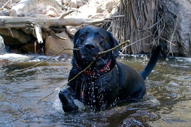 black-labrador-stick-funny-wet-dog