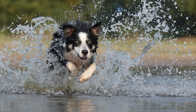 border-collie-water-drops-run