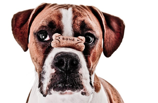 boxer-dog-treat-food-funny