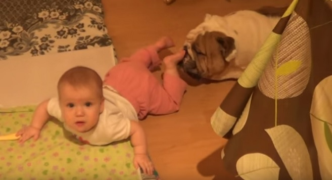 cute-baby-dog-english-bulldog